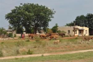 Herd of cow in village