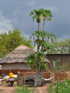 Papaya tree & thatch roof home